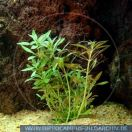 PWP0177 Limnophila aromatica<br>