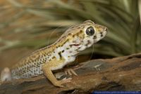 Teratoscincus scincus keyserlingii,Grosser Wundergecko,Common Wonder Gecko