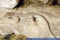 Acanthodactylus cantoris, Pakistan-Fransenfinger, Indian Fringe-fingered Lizard