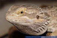 Pogona vitticeps Hypomelanistisch orange, Australische Bartagame, Central Bearded Dragon