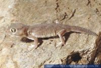 Teratoscincus microlepis, Kleiner Wundergecko, Web Footed Gecko