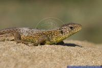 Lacerta agilis,Zauneidechse,European Common lizard