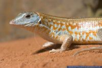 Tracheloptychus petersi,Peters Kielschildechse,Malagasy plated lizard