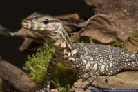 Varanus salvator,Bindenwaran,Water Monitor