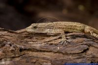 Gonatodes humeralis,Trinidad Gecko,Bridled Forest Gecko