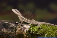 Lophognathus temporalis,Streifen-Wasseragame,Striped Water Dragon
