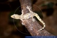 Hemidactylus frenatus, Asiatischer Hausgecko, Common House Gecko