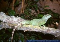 Physignathus cocincinus, Wasseragame, Chinese Water Dragon