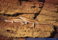 Tracheloptychus petersi , Peters-Kielschildechse, Malagasy plated lizard