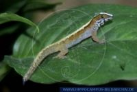 Gonatodes humeralis, Trinidad Gecko, Bridled Forest Gecko