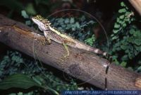 Japalura splendida, Chinesische Bergagame, green striped lizard, chinese tree dragon, dragon agama