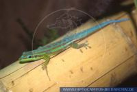 Phelsuma cepediana, Blauschwanz Taggecko, Blue-Tailed Day Gecko