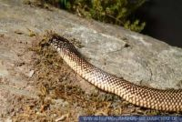 RSCFT0162 Lampropeltis getulus goini<br>