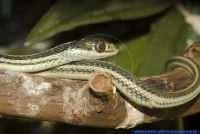 RSCFT0812 Thamnophis proximus<br>