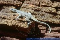 Oplurus fierensis, Felsenleguan, Rock Swift