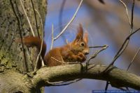 Sciurus vulgaris,Eichhoernchen,Common Squirrel, Red Squirrel