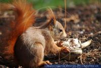 Sciurus vulgaris, Eichhürnchen,Common Squirrel Red Squirrel