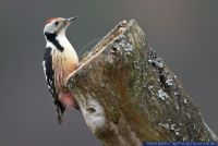 Dendrocopos medius,Mittelspecht,Middle Spotted Woodpecker