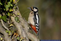 Dendrocopos major,Buntspecht,Great Spotted Woodpecker
