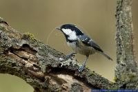 Periparus ater,Tannenmeise,Coal Tit