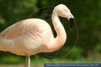 Phoenicopterus chilensis, Chileflamingo, Chilean flamingo