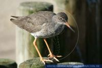 Tringa totanus, Rotschenkel, Common Redshank