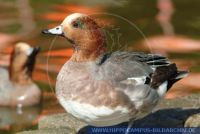 Anas penelope, Pfeifente, European widgeon