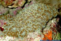 Acanthastrea lordhowensis, Steinkoralle, Stony coral
