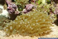 Euphyllia glabrescens, Grosspolypige Steinkoralle, Torch Coral