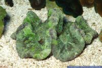 Trachyphyllia geoffroyi, Wulstkoralle, Green Open Brain Coral ,Pacific Rose Coral