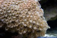 Goniopora sp.,Margeritenkoralle,Flower Pot coral