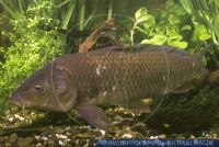 "Cyprinus carpio""Wildkarpfen"""